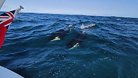 BNPS.co.uk (01202 558833)<br /> Pic: DieterPeschkes/BNPS<br /> <br /> Pictured: The killer whales behind the boat.<br /> <br /> A British sailor has told of the terrifying moment his boat was attacked by two killer whales. <br /> <br /> Dieter Peschkes is the latest yachtsman to experience a hair-raising Orca attack off the coast of the Iberian Peninsula.  <br /> <br /> Scientists are said to be mystified by the recent spate of incidents that involve the large mammals stalking and ramming into sailing boats.