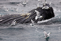 Humpback whales Megaptera novaeangliae bubble net feeding on Capelin and krill Spitzbergen Arctic Norway Kittywakes and Fulmars feeding alongside