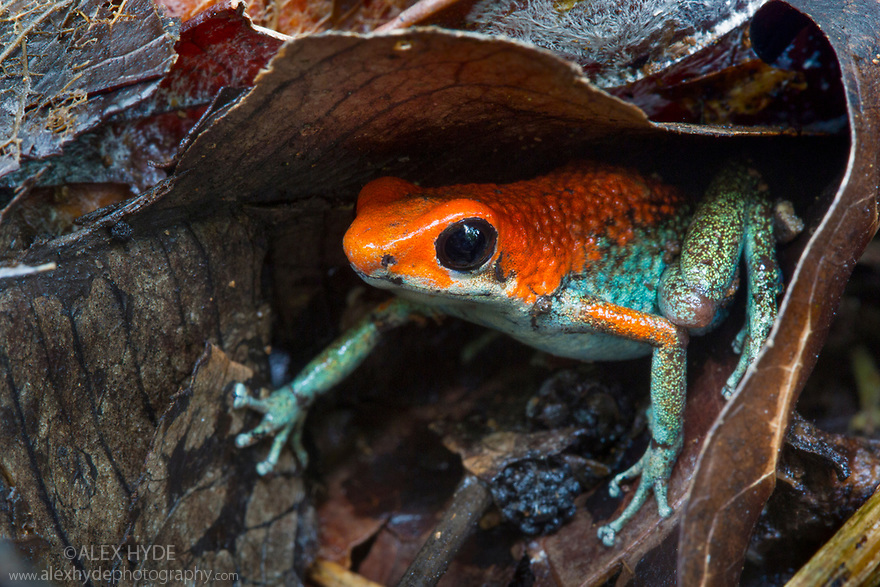 Granular Poison Frog {Oophaga granulifera}Osa Peninsula, Costa Rica. May. 'Vulnerable' IUCN Red List species.
