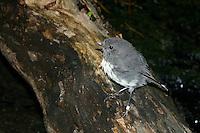 New Zealand Robin on Motuara Island, New Zealand
