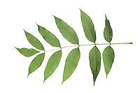 Gemeine Esche, Gewöhnliche Esche, Fraxinus excelsior, Common Ash, European Ash, Le Frêne commun, Frêne élevé. Blatt, Blätter, leaf, leaves