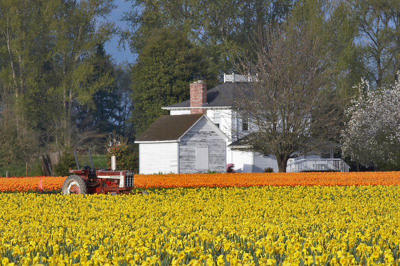 Field of dafodils and tulips with tractor and farm house. Mt. Vernon. Washington
