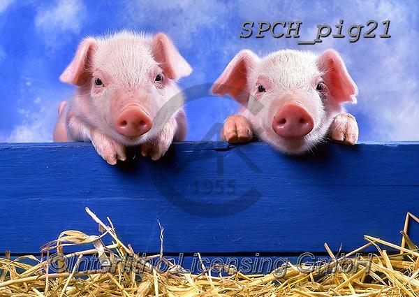 ANIMALS, REALISTISCHE TIERE, ANIMALES REALISTICOS, pigs, photos+++++,SPCHPIG21,#a#, EVERYDAY