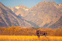 moose, Alces alces, bull in a meadow, Teton Range in the background, Grand Teton National Park, Wyoming, USA