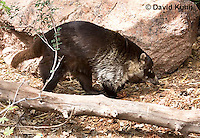0717-1107  White-nosed Coati (Pizote, Antoon, Tej—n), Foraging for Food, Racoon Family, Arizona, Nasua narica  © David Kuhn/Dwight Kuhn Photography
