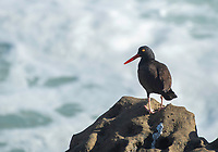 Black Oystercatcher, Haemantopus bachmani, on the Pacific coast in Sonoma County, California