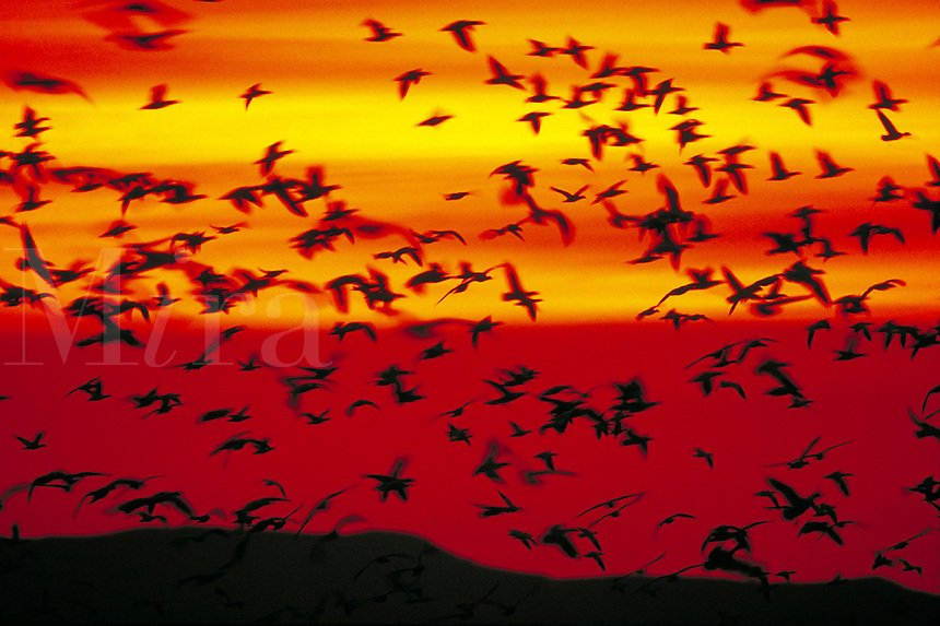 Snow Geese. Birds in flight. Silhouettes. New Mexico, Bosque del Apache National Wildlife Refuge.