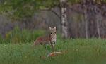 Bobcat approaching a dead fawn in a northern Wisconsin field.
