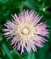 Purple basket flower or star thistle, Centaurea calcitrapa L. blooming