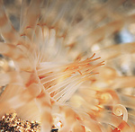Sand Anemone, underwater marine life, artistic underwater