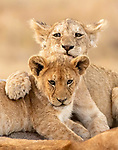 Lion cubs show their tender side by Nina Waffenshmidt