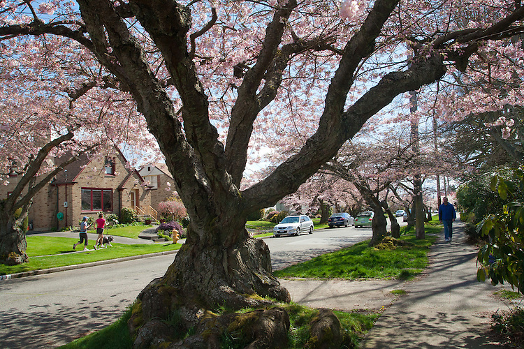 Seattle, Springtime, Cherry Blossoms, Community planted Cherry trees in bloom, Ballard Neighborhood, 33rd Ave NW at NW 80th