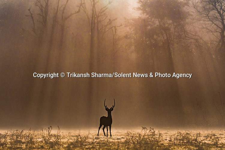 Rays of dawn sunlight break through the trees, illuminating a herd of deer at a nature reserve in India.  Nestled in the foothills of the Himalayas in northern India lies Rajaji National Park and Tiger Reserve, the beautiful location where these photos were taken.<br /> <br /> Nature and wildlife photographer Trikansh Sharma, 22 and from Rishikesh, India, made the most of the golden hours to capture the deer against a backdrop of forests and blue mountains.  SEE OUR COPY FOR DETILS.<br /> <br /> Please byline: Trikansh Sharma/Solent News<br /> <br /> © Trikansh Sharma/Solent News & Photo Agency<br /> UK +44 (0) 2380 458800