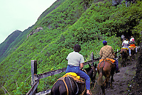 Tourists taking the mule ride down the switchback trail to the Kalaupapa pensinsula, which houses the remaining population of former leprosy patients, Island of Molokai