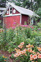 Red barn shed in country garden with German hex signs, daylilies, phlox, tall growing plants in a variety of mixed perennials and annuals, marigolds, lilies