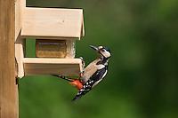 Buntspecht an der Vogelfütterung, Erdnussbutter, Bunt-Specht, Specht, Spechte, Dendrocopos major, Great Spotted Woodpecker, Woodpeckers. Pic épeiche. Ganzjahresfütterung, Vögel füttern im ganzen Jahr, Vogelfutter