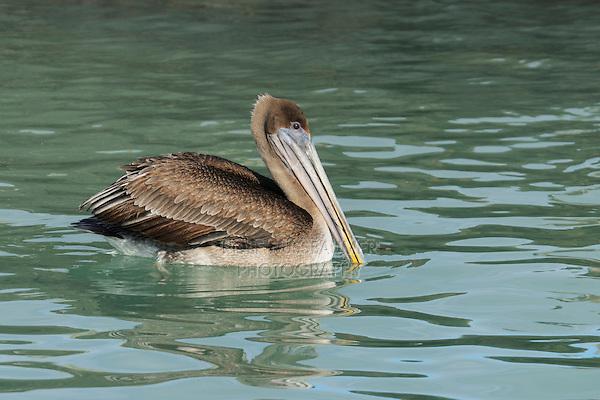 Brown Pelican (Pelecanus occidentalis), immature swimming, Galapagos Islands, Ecuador, South America