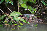 A young spectacled caiman, Caiman crocodilus, in Caño Chiquerra, Tortuguero National Park, Costa Rica