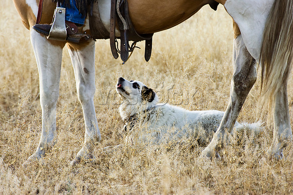 dog beneath horse, wildwest, Oregon, USA