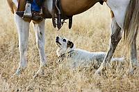 dog beneath horse, wildwest, Oregon, USA