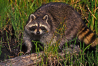 Raccoon (Procyon lotor) at edge of lake..Autumn. North America.