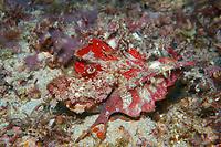demon stinger or devil stinger, Inimicus didactylus, Puerto Galera, Mindoro, Philippines, Indo-Pacific Ocean