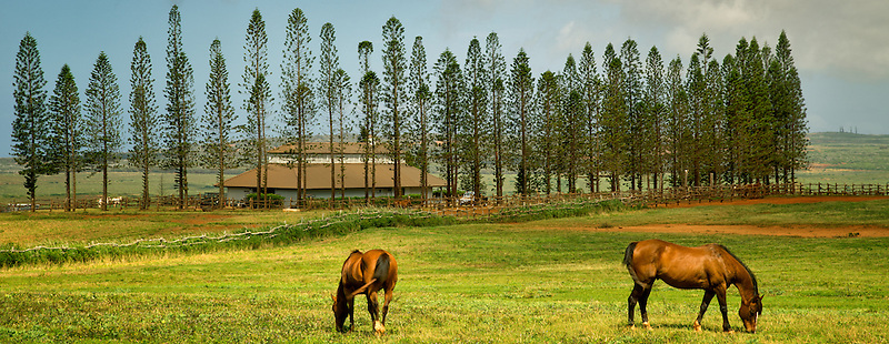 Horses grazing in pasture with barn, stables at Koele, and  Cook Pines. Lanai, Hawaii.