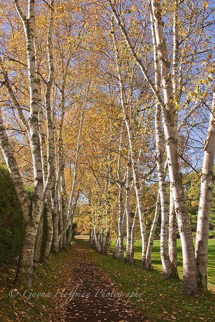 Birch trees lining a path. Saint-Gaudens Estate, Cornish, NH