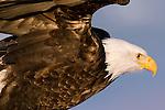 Bald Eagle (Haliaeetus leucocephalus) taking flight, Lower Klamath National Wildlife Refuge, California