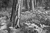 Ponderosa pine and fall color ferns. Near Camp Sherman, Oregon