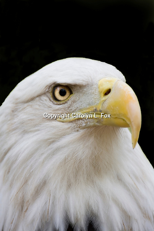 An American Bald Eagle is photographed against a black background.
