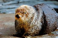 northern sea otter or Alaska sea otter, Enhydra lutris kenyoni, Oregon (c)