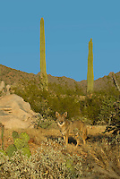Coyote (Canis latrans) is Southwestern desert.