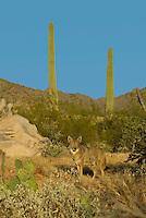 Coyote (Canis latrans) is Southwestern desert.