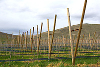 Rows of Cosmic Crisp nursery trees span across orchards owned by fruit grower and packer, McDougall & Sons Inc., in Wenatchee, WA on April 13, 2018. The new variety of apple is being developed by the Washington State University Tree Fruit Research and Extension Center. Cosmic Crisp apples will debut with consumers in 2019. (Photo by Karen Ducey)