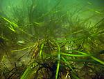 Healthy Eelgrass plants off of Nahant, Massachusetts
