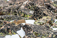 American pika (Ochotona princeps) running back toward one of its haypiles (winter food caches) with a mouthful of plant material.  Beartooth Mountains, Wyoming/Montana.  Summer.  This photo was taken in alpine setting at around 11,000 feet (3350 meters) elevation.   At this elevation snow is not unusual even in late July when this image was taken.