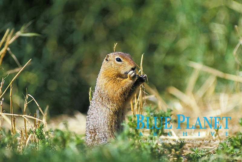 black-tailed prairie dog, Cynomys ludovicianus, adult, eating plant, North America