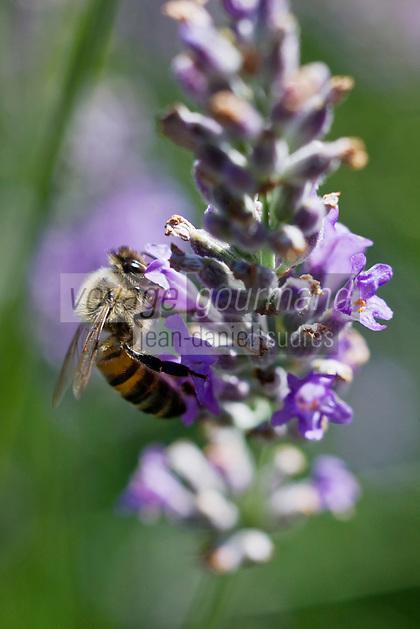Europe/France/Rhône-Alpes/26/Drôme/Mirmande: détail de lavande et abeille