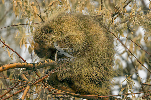 Male North American porcupine (Erethizon dorsatum)--also known as the Canadian porcupine or common porcupine--resting in small tree.  Western U.S., late fall.
