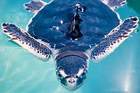 juvenile Kemp's ridley sea turtle, Lepidochelys kempii (c), in experimental tank at the University of Miami, Rosenfiel School of Marine and Atmospheric Science, Miami, Florida