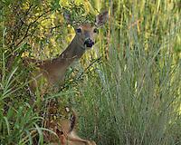 Doe keeping watch as her fawn seeks cover..