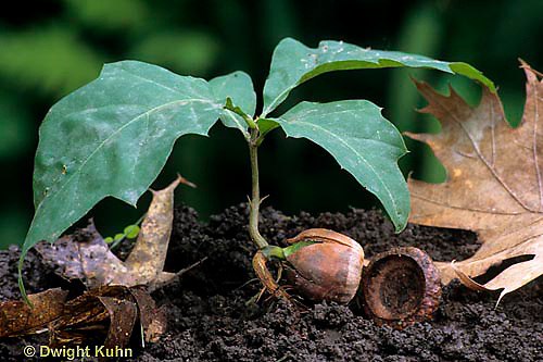 TT18-018c  White Oak - seedling - Quercus alba