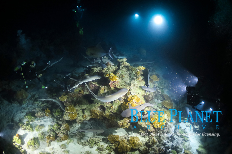 group of whitetip reef shark, Triaenodon obesus, with diver at nighttime, Cocos Island, Cocos Island National Park, Costa Rica, Pacific Ocean, MR