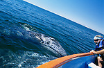 Mexico, Baja California Sur, San Ignacio, Laguna San Ignacio, Whale Watching (Eschrichtius robustus)
