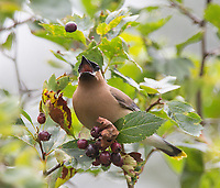 """The famous waxwing """"berry toss."""""""