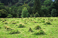 Ant hills in a grass field, Wales....Copyright..John Eveson, Dinkling Green Farm, Whitewell, Clitheroe, Lancashire. BB7 3BN.01995 61280. 07973 482705.j.r.eveson@btinternet.com.www.johneveson.com