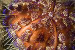 Anilao, Philippines; a detail view of a Fire Urchin (Asthenosoma varium)