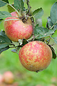Apple 'Beeley Pippin', mid September. An English dessert apple bred in about 1880 by Rev. C. Sculthorpe of Beeley, Derbyshire.