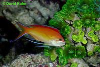 0118-08rr  Male Lyretail Anthias -Scalefin -  Pseudanthias squamipinnis  © David Kuhn/Dwight Kuhn Photography